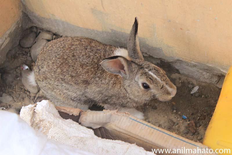 Rabbit at Arcade Cafe, Nepal